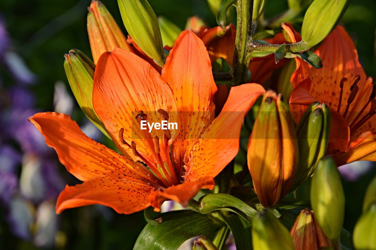 flower, petal, growth, orange color, beauty in nature, freshness, nature, fragility, flower head, blooming, plant, outdoors, day, close-up, no people, day lily