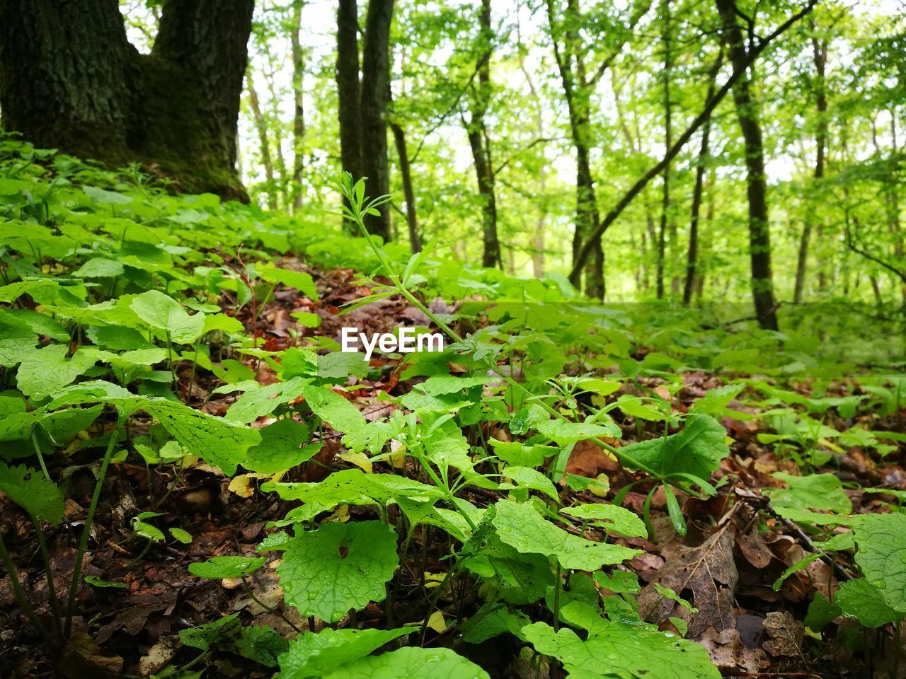 land, forest, plant, growth, tree, plant part, green color, nature, leaf, trunk, tree trunk, beauty in nature, tranquility, day, woodland, no people, focus on foreground, environment, outdoors, tranquil scene, leaves