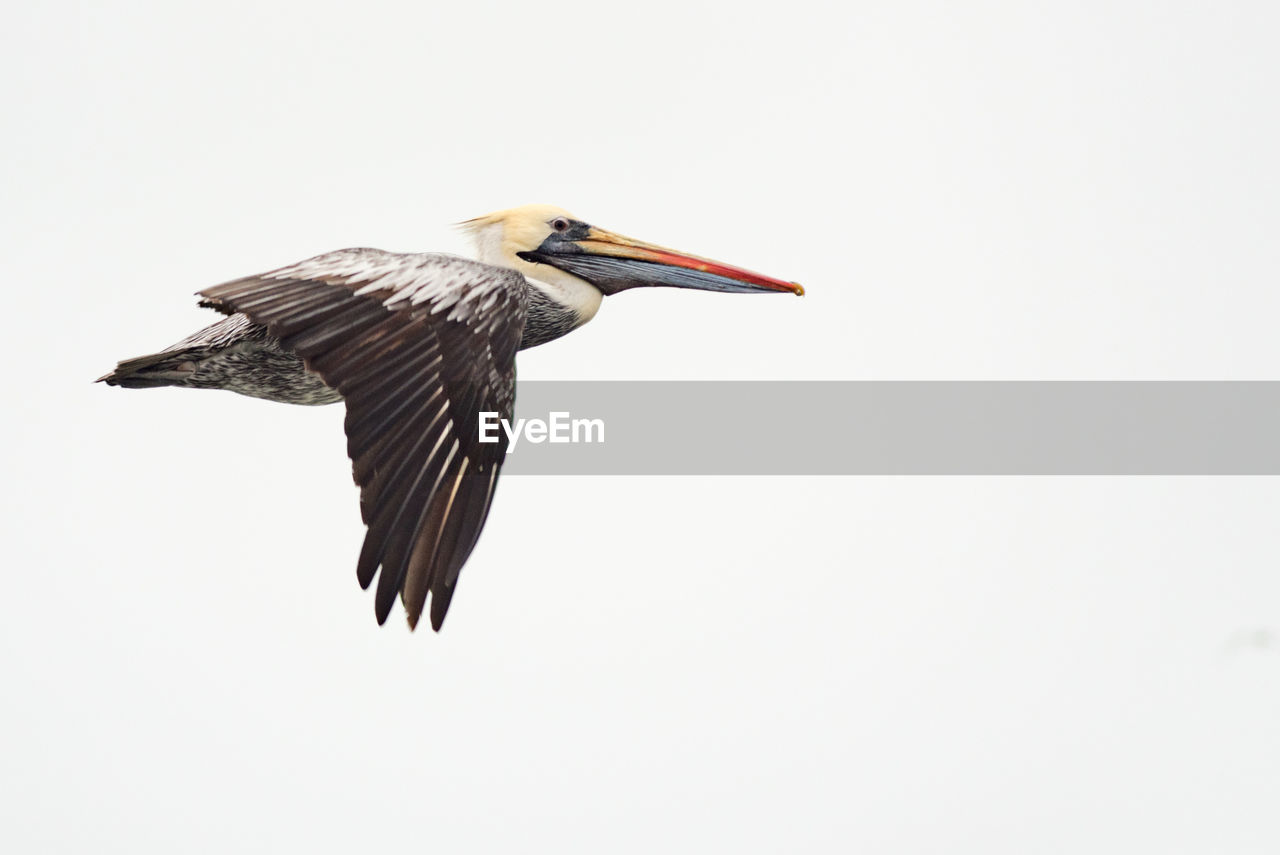 HIGH ANGLE VIEW OF GRAY HERON ON WHITE BACKGROUND