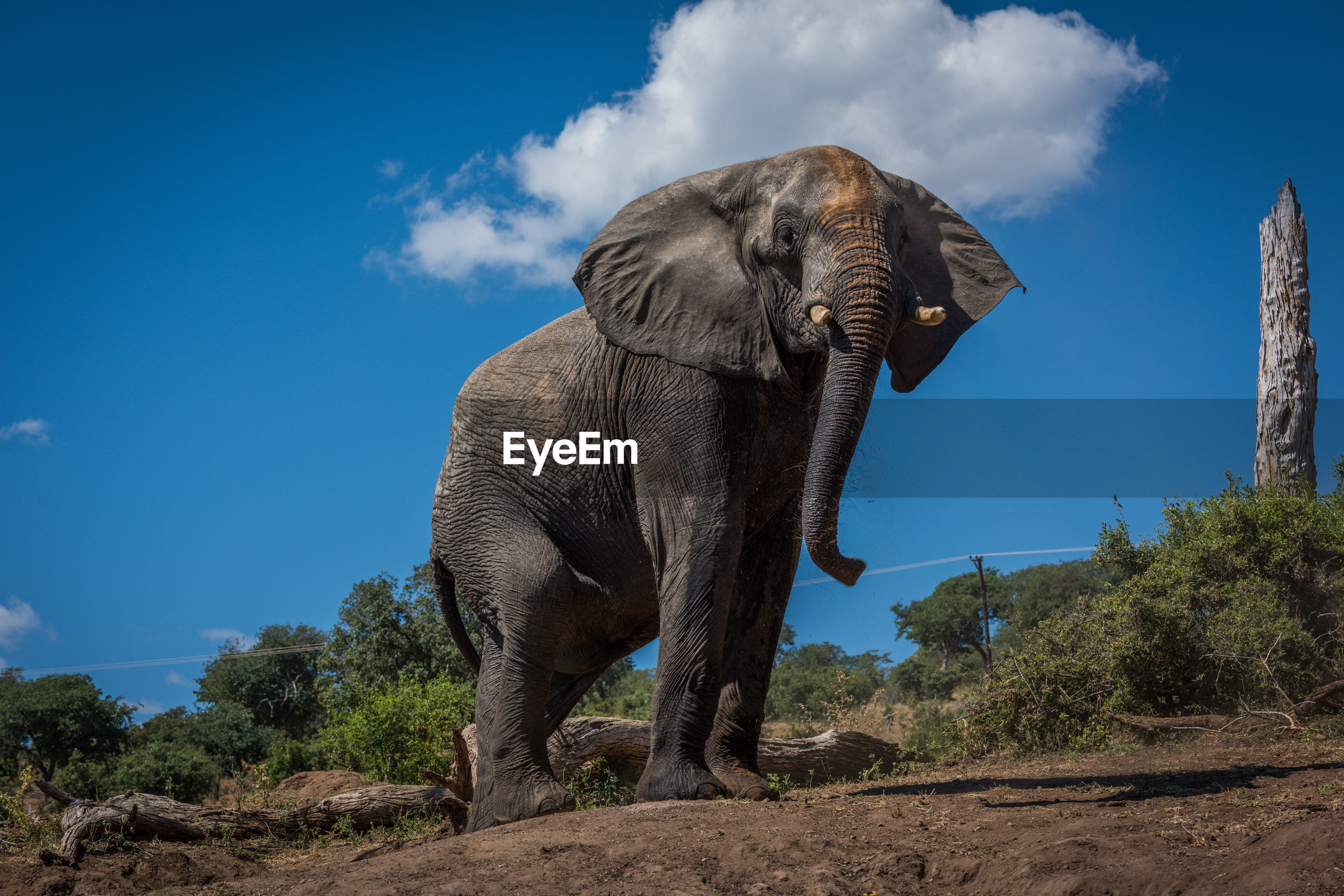 Low angle view of elephant on field against blue sky during sunny day