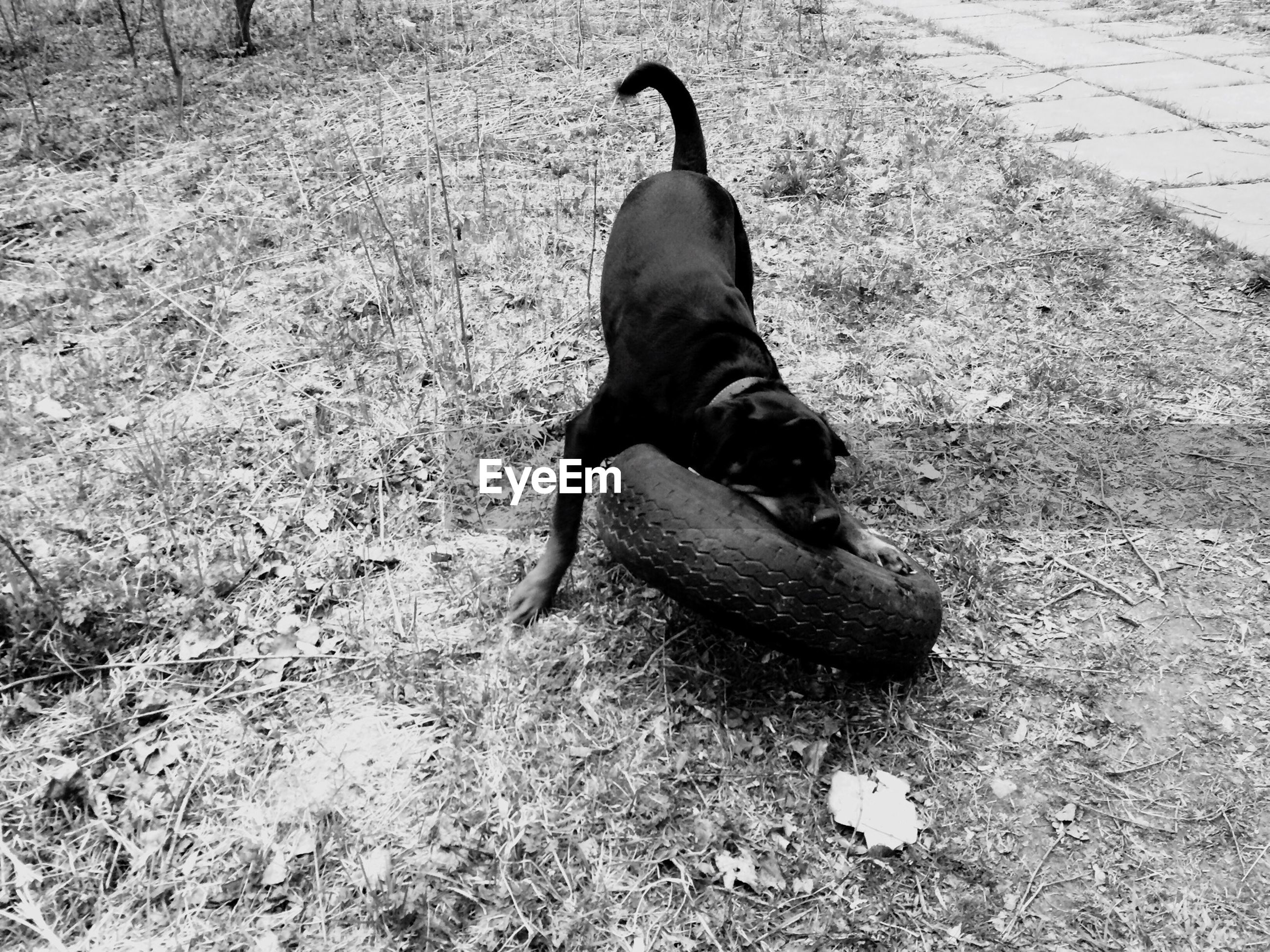 Black dog playing with tire