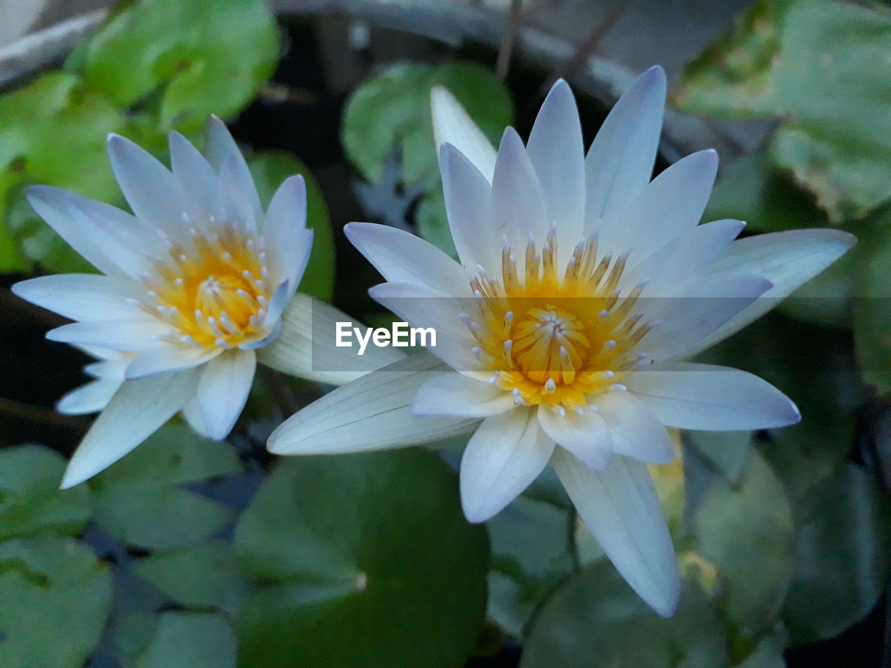 flower, flowering plant, fragility, petal, vulnerability, beauty in nature, freshness, plant, growth, flower head, inflorescence, close-up, nature, pollen, leaf, no people, white color, day, plant part, water lily, outdoors, purple, purity