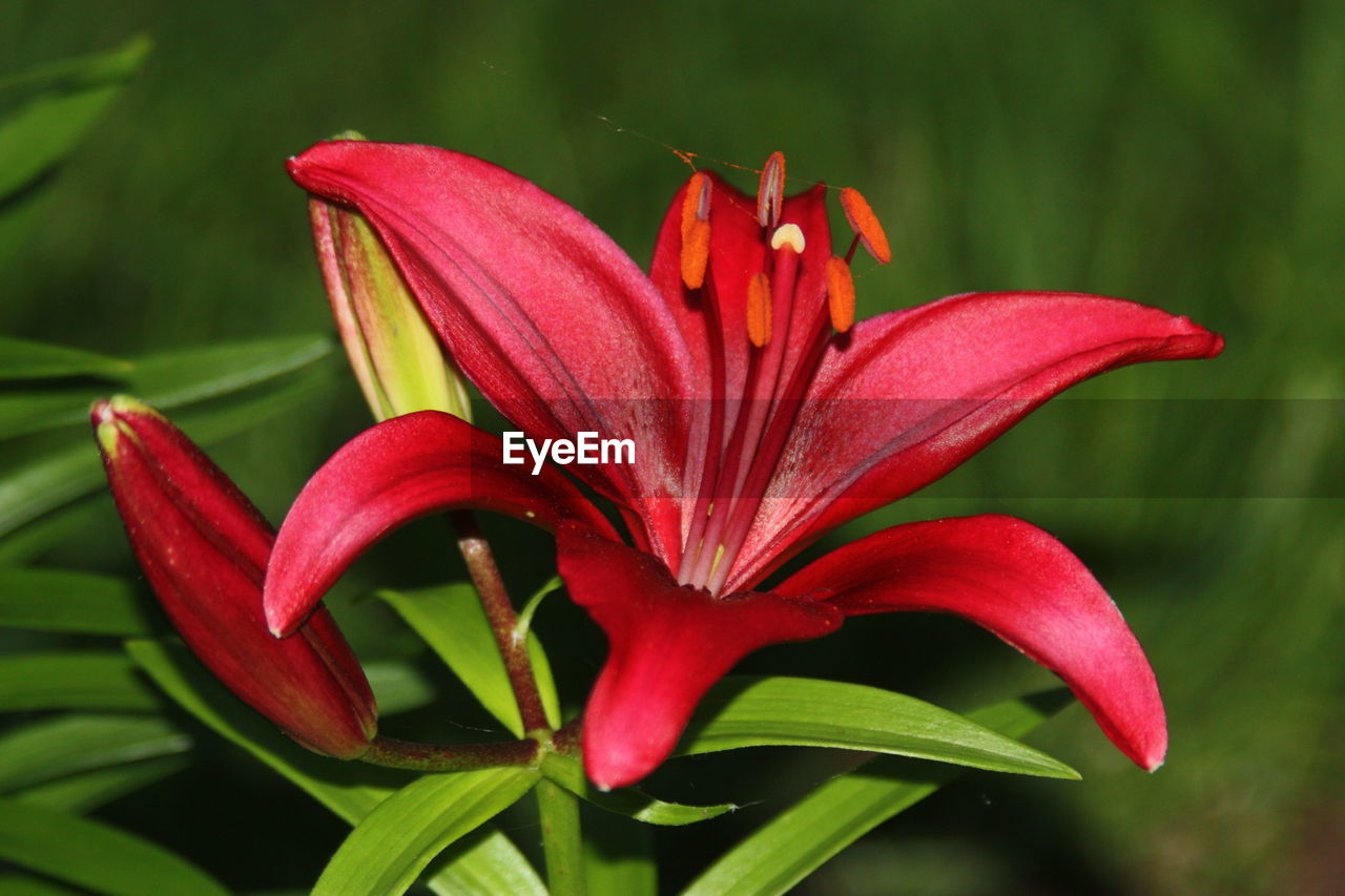 flowering plant, flower, beauty in nature, fragility, vulnerability, petal, plant, flower head, growth, inflorescence, freshness, close-up, red, focus on foreground, nature, pollen, lily, day, botany, no people