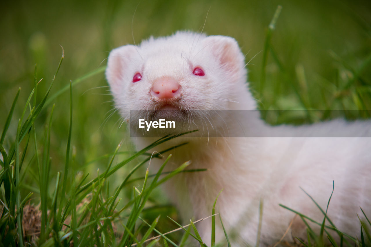 Close-Up Weasel On Field