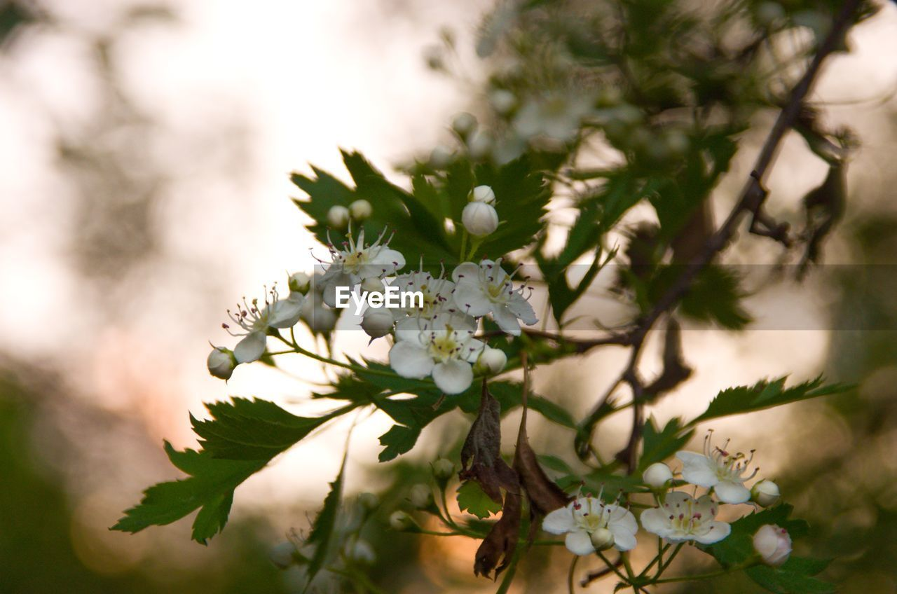 flower, flowering plant, plant, freshness, vulnerability, beauty in nature, growth, fragility, close-up, white color, nature, selective focus, flower head, petal, day, inflorescence, no people, tree, focus on foreground, outdoors, pollen, springtime, cherry blossom, bunch of flowers