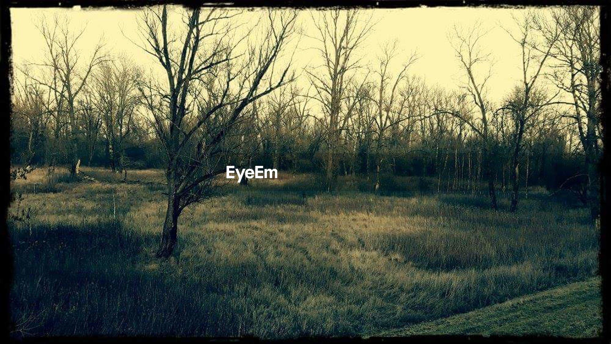 tree, bare tree, grass, tranquility, tranquil scene, field, landscape, scenics, nature, beauty in nature, growth, grassy, non-urban scene, sky, no people, outdoors, non urban scene, tree trunk, day, remote, idyllic, rural scene, vignette
