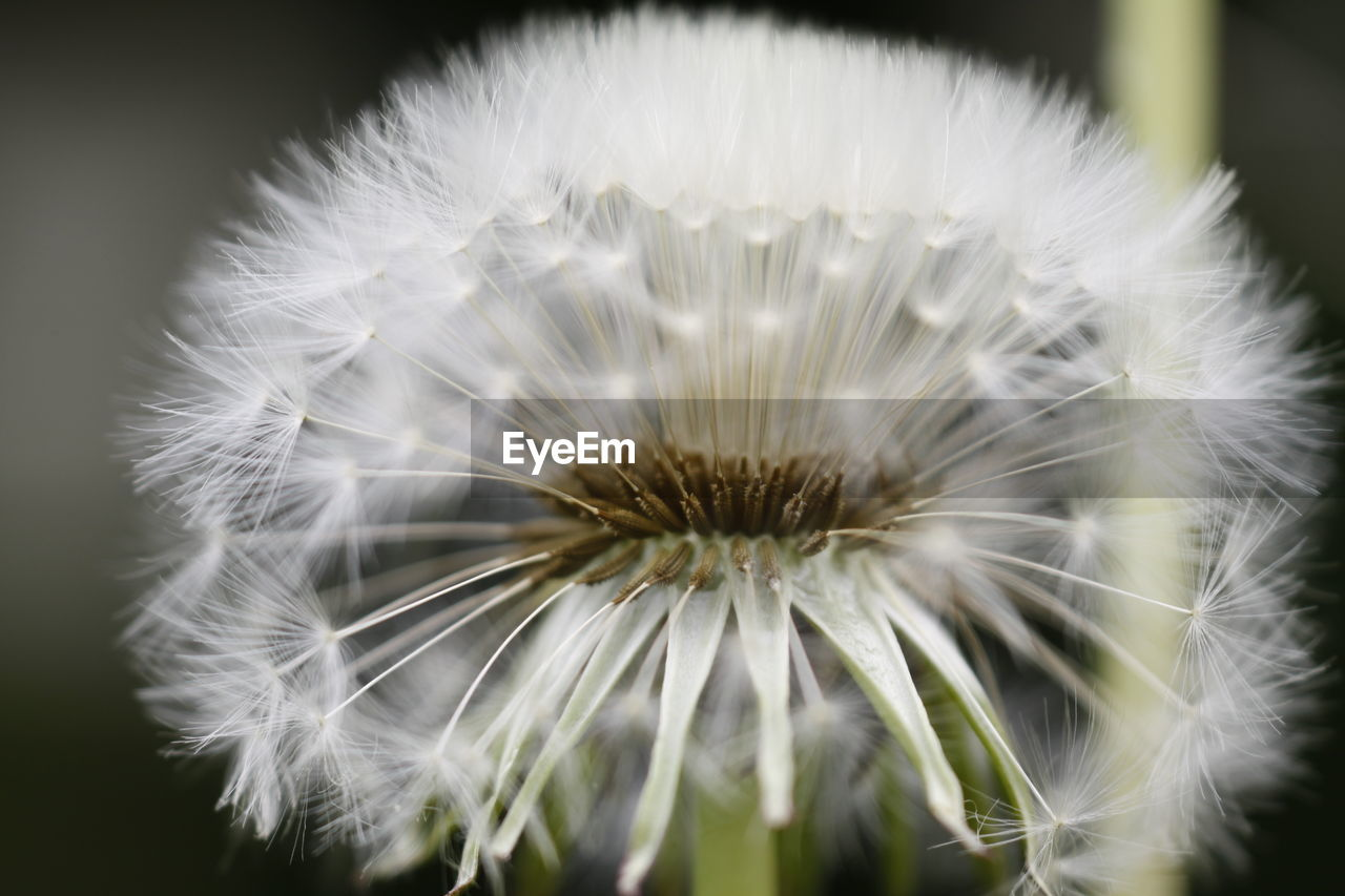 flower, fragility, dandelion, close-up, freshness, flower head, softness, beauty in nature, white color, nature, growth, focus on foreground, no people, plant, day, outdoors