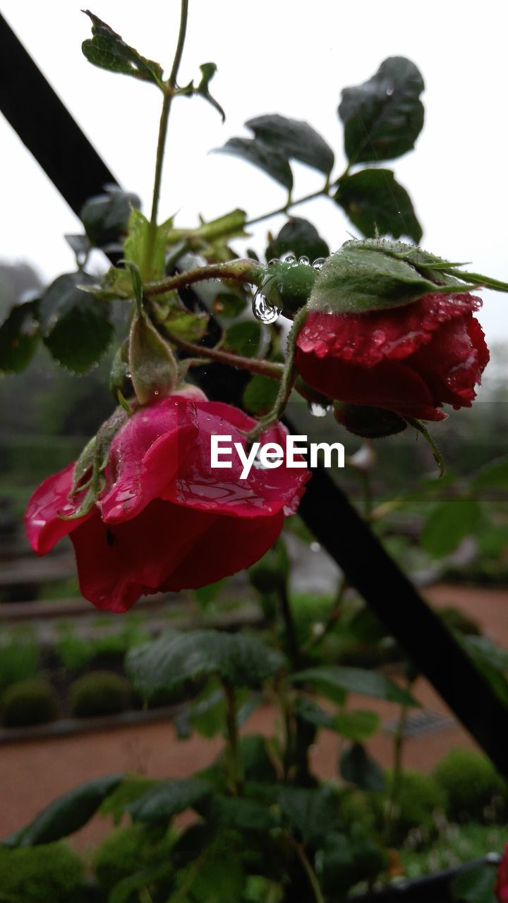 growth, flower, nature, beauty in nature, red, plant, petal, fragility, freshness, drop, wet, rose - flower, no people, flower head, water, blooming, close-up, outdoors, day
