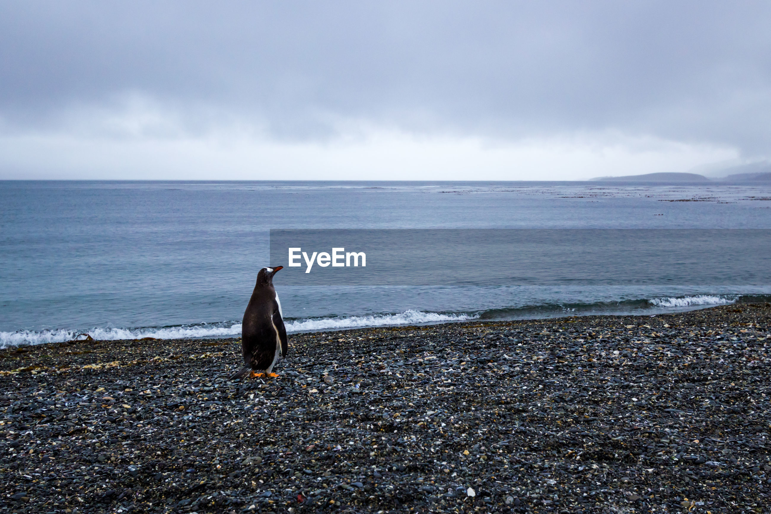 Penguin looking away while standing at beach
