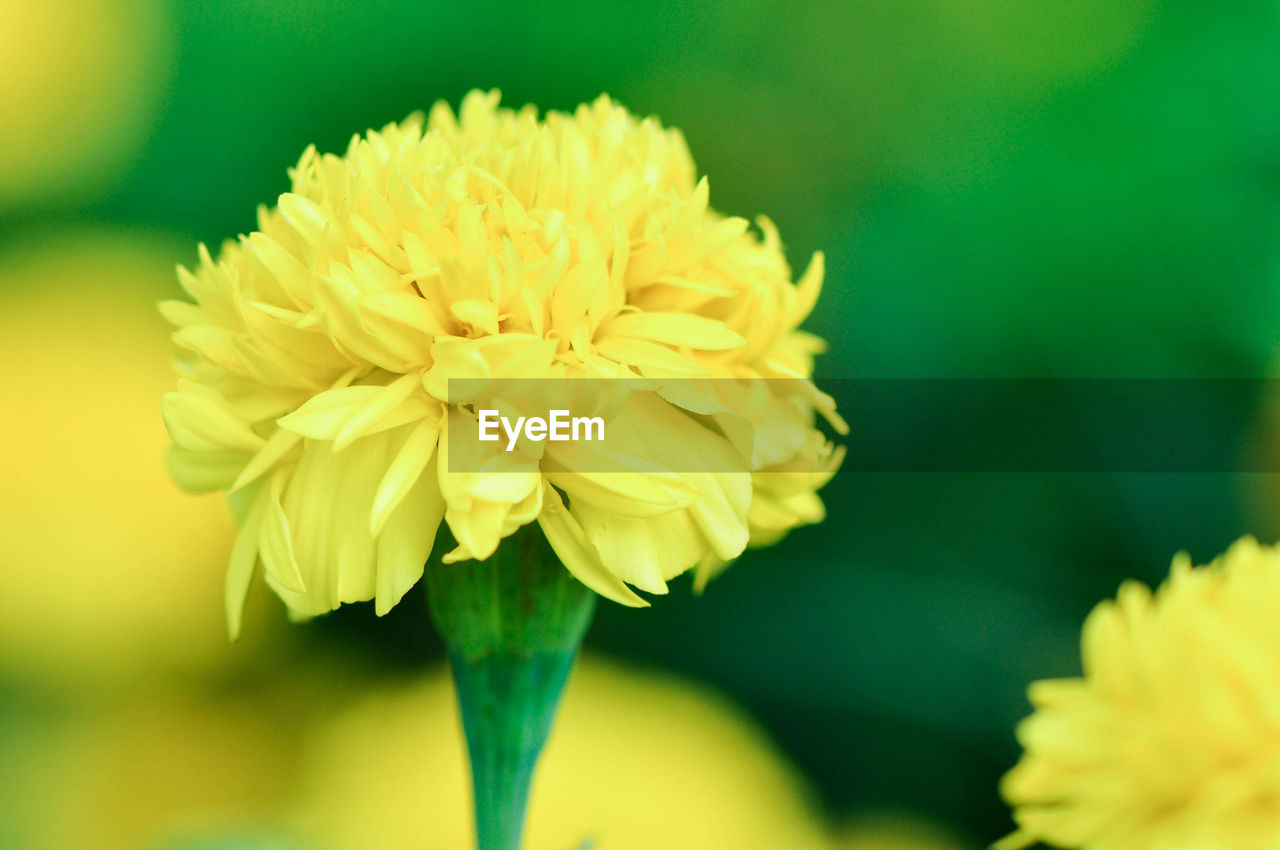flower, flowering plant, vulnerability, fragility, petal, plant, beauty in nature, freshness, flower head, inflorescence, close-up, growth, yellow, focus on foreground, nature, no people, day, outdoors, botany, sepal