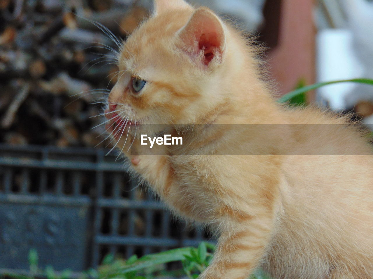pets, mammal, domestic, animal themes, domestic animals, one animal, animal, vertebrate, domestic cat, feline, cat, focus on foreground, no people, close-up, whisker, looking, day, side view, looking away, outdoors, ginger cat