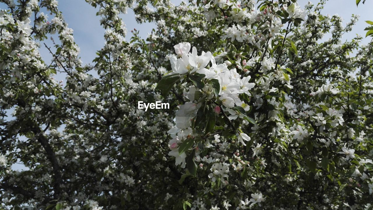 flower, tree, white color, blossom, apple blossom, growth, fragility, nature, apple tree, beauty in nature, orchard, branch, freshness, springtime, botany, no people, day, low angle view, outdoors, blooming, close-up, sky, flower head