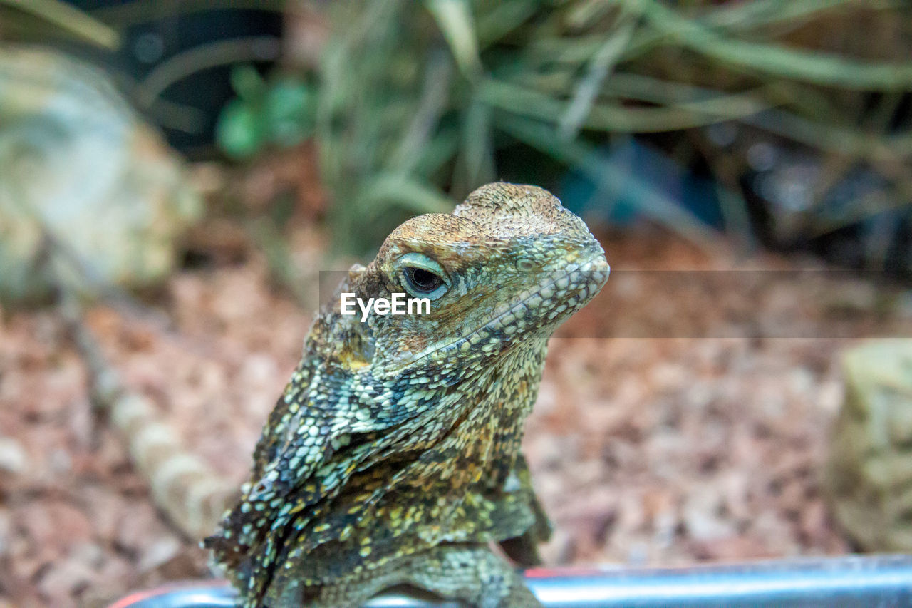 animal themes, animal, one animal, animal wildlife, animals in the wild, vertebrate, reptile, lizard, close-up, focus on foreground, no people, animal body part, day, animal head, bearded dragon, selective focus, nature, side view, looking, outdoors, animal scale, animal eye