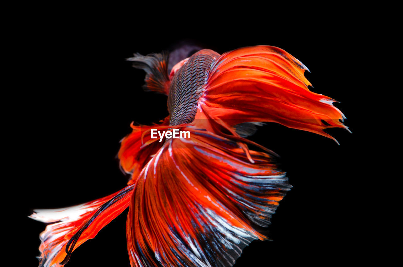 Close-Up Of Red Fish Swimming Against Black Background