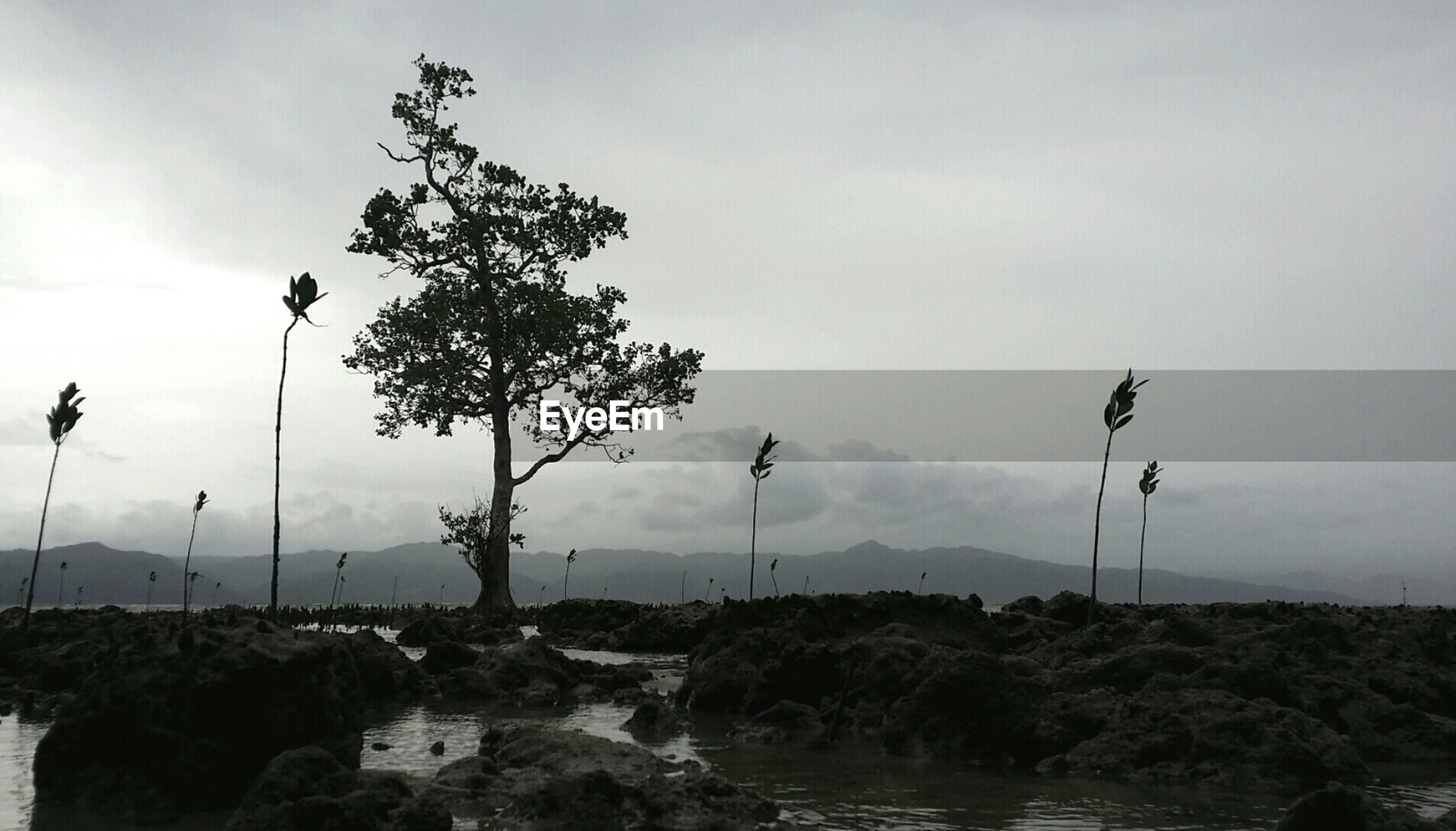 Tree on rocky beach at cagbalete island against sky