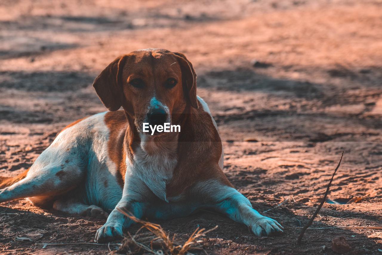 PORTRAIT OF A DOG RESTING ON LAND