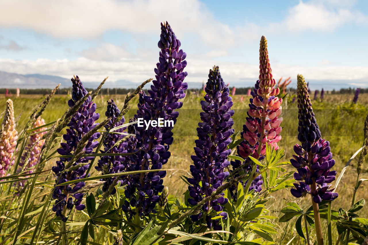 plant, flowering plant, flower, beauty in nature, sky, growth, purple, vulnerability, fragility, nature, field, land, cloud - sky, freshness, day, close-up, tranquility, focus on foreground, flower head, inflorescence, outdoors, lavender, springtime