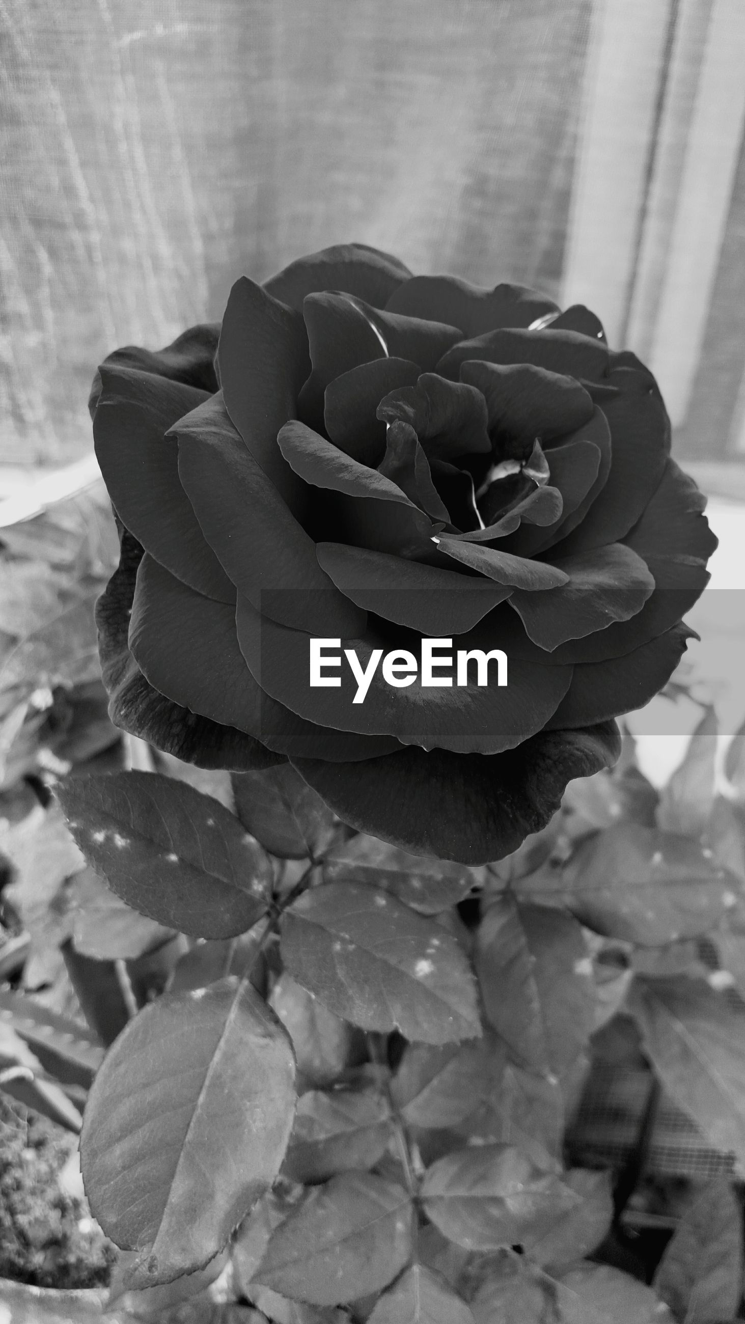 flower, rose - flower, freshness, close-up, petal, flower head, fragility, beauty in nature, focus on foreground, single flower, growth, nature, plant, leaf, rose, no people, blooming, single rose, day, natural pattern