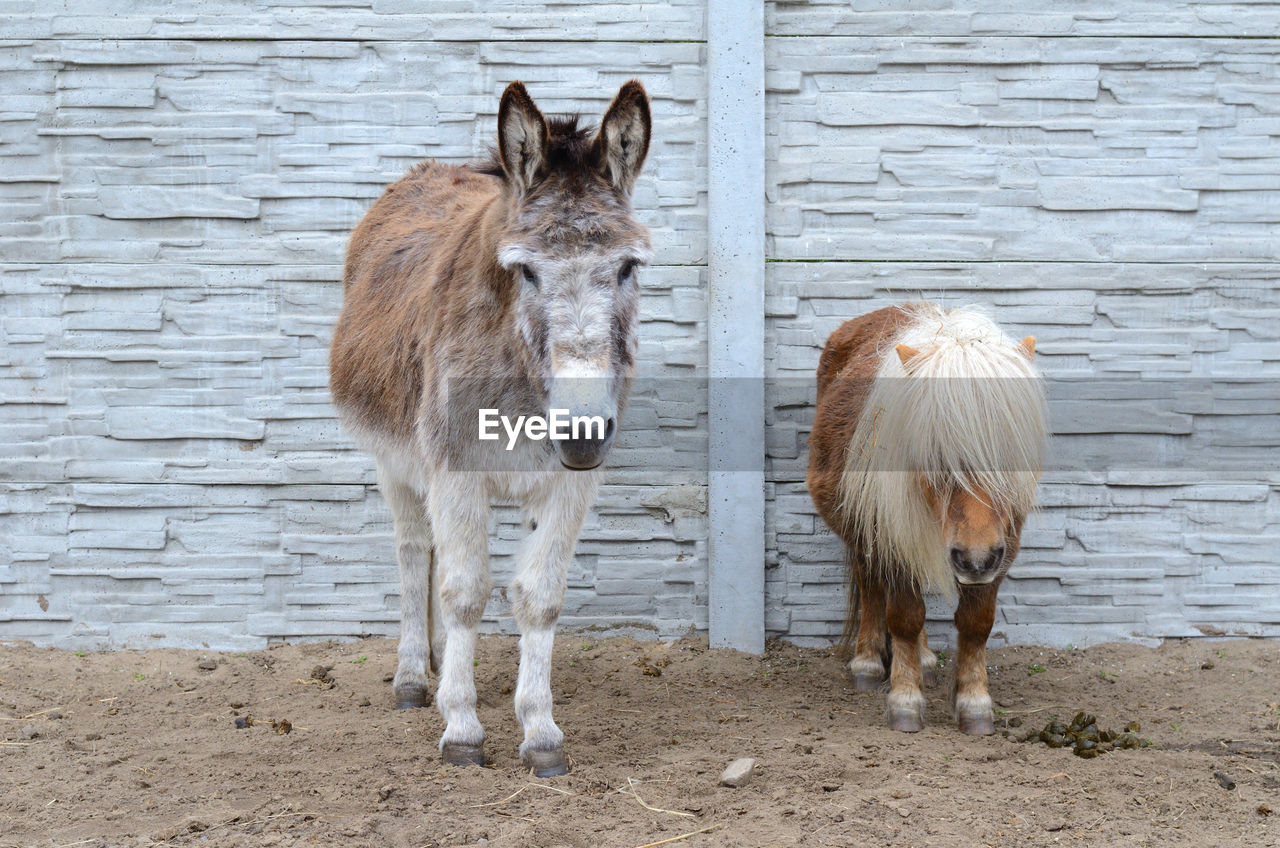 livestock, mammal, animal, domestic, domestic animals, animal themes, standing, pets, vertebrate, group of animals, horse, day, no people, herbivorous, working animal, two animals, animal wildlife, field, brown, wall - building feature, outdoors, animal head