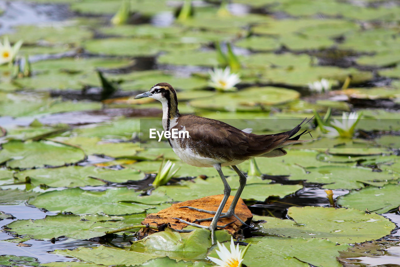 water, animals in the wild, bird, animal wildlife, animal, animal themes, lake, one animal, vertebrate, leaf, plant part, nature, green color, no people, day, plant, water bird, beauty in nature, floating on water, leaves