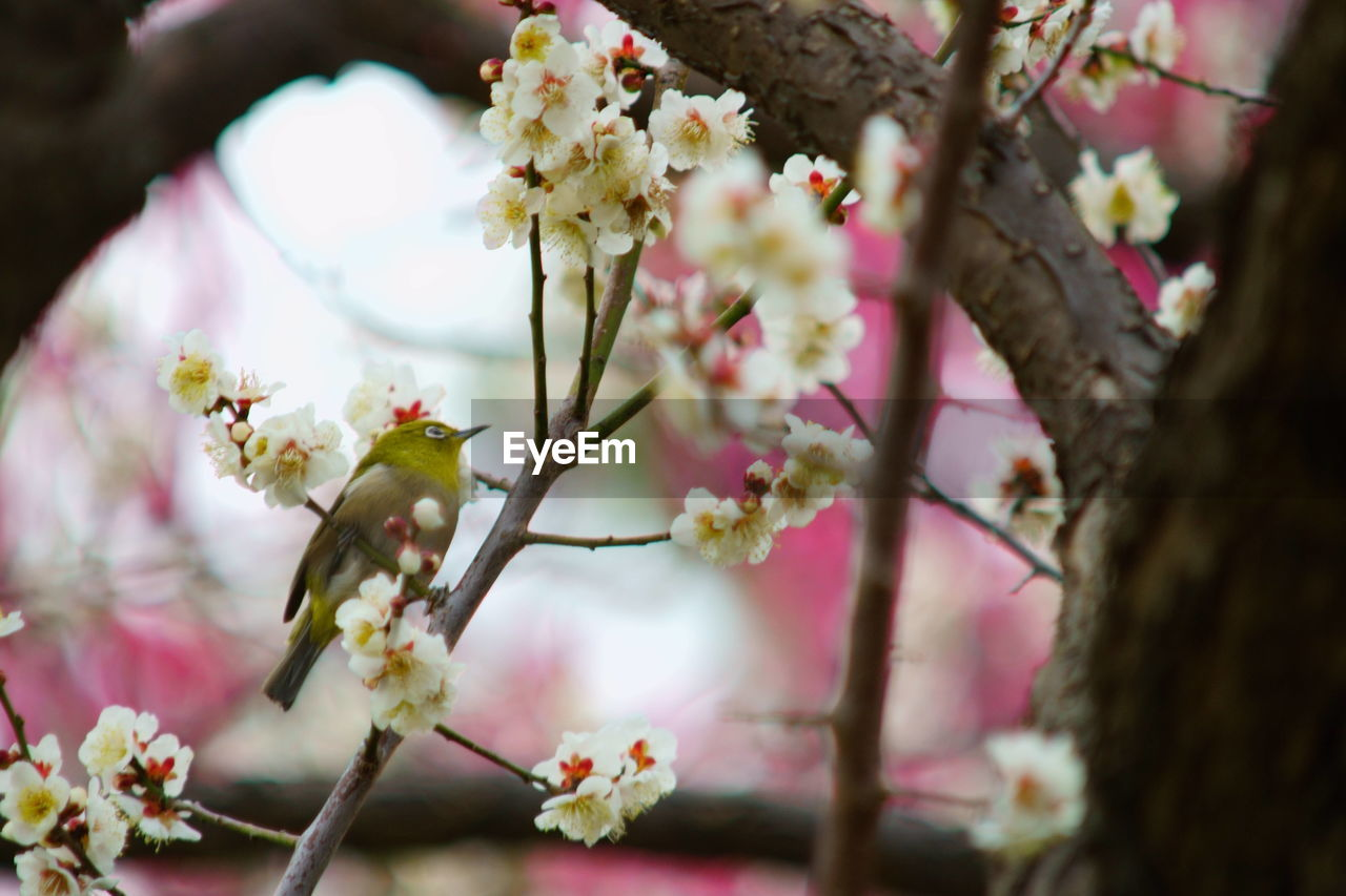flowering plant, flower, plant, fragility, growth, beauty in nature, vulnerability, freshness, tree, branch, blossom, close-up, petal, springtime, pink color, nature, selective focus, day, cherry blossom, focus on foreground, no people, flower head, pollen, outdoors, cherry tree