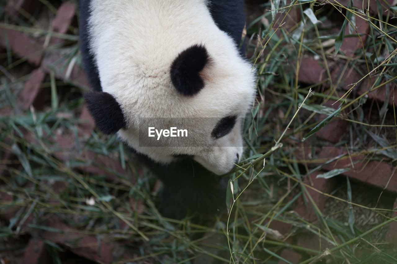 panda, one animal, wildlife, giant panda, bear, panda - animal, grass, animal themes, mammal, animals in the wild, no people, outdoors, close-up, day, nature