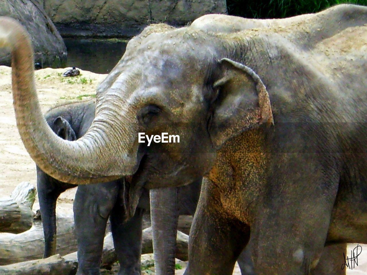 animal themes, animals in the wild, one animal, elephant, day, no people, animal wildlife, outdoors, mammal, standing, safari animals, animal trunk, close-up