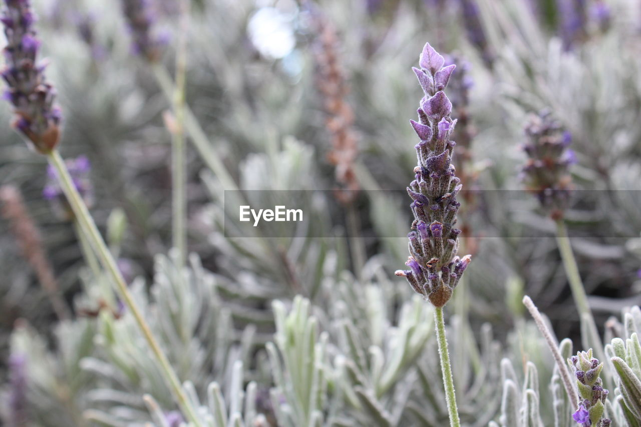 purple, lavender, nature, beauty in nature, day, no people, plant, focus on foreground, growth, flower, fragility, close-up, outdoors, one animal, animal themes, freshness
