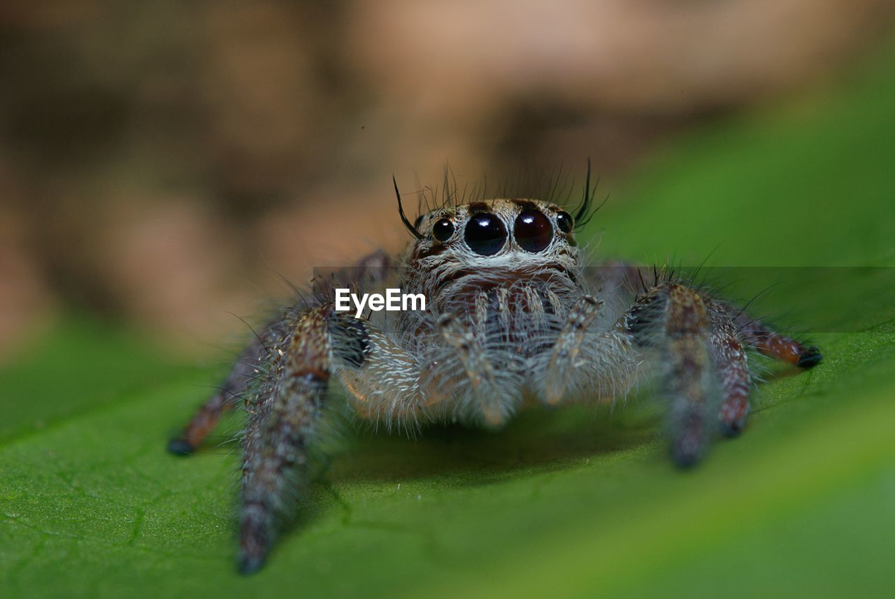 animals in the wild, animal wildlife, animal themes, invertebrate, animal, one animal, insect, jumping spider, spider, arachnid, close-up, arthropod, selective focus, zoology, nature, no people, plant part, leaf, green color, eye, animal eye, animal leg