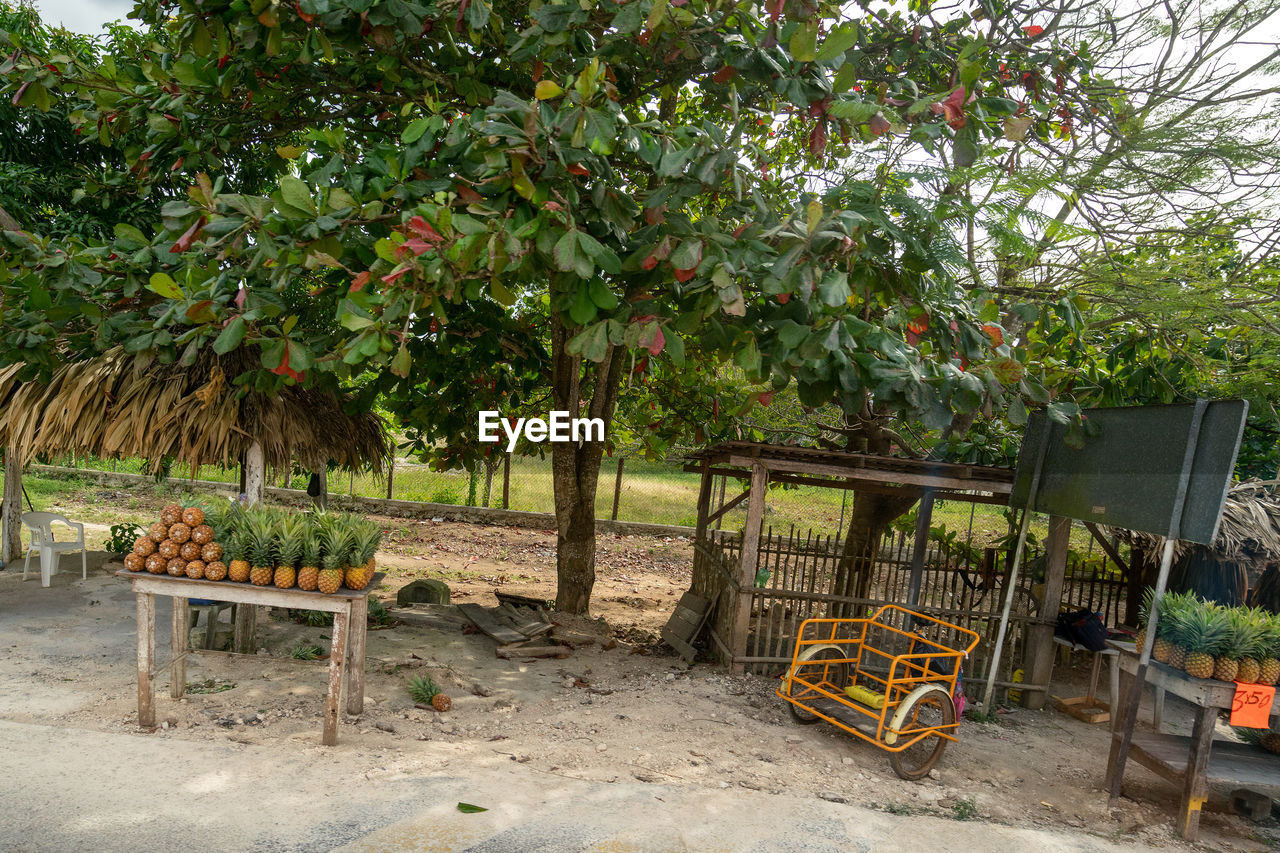 plant, tree, nature, growth, day, healthy eating, fruit, no people, seat, chair, table, outdoors, food and drink, food, absence, freshness, beauty in nature, land, agriculture, leaf