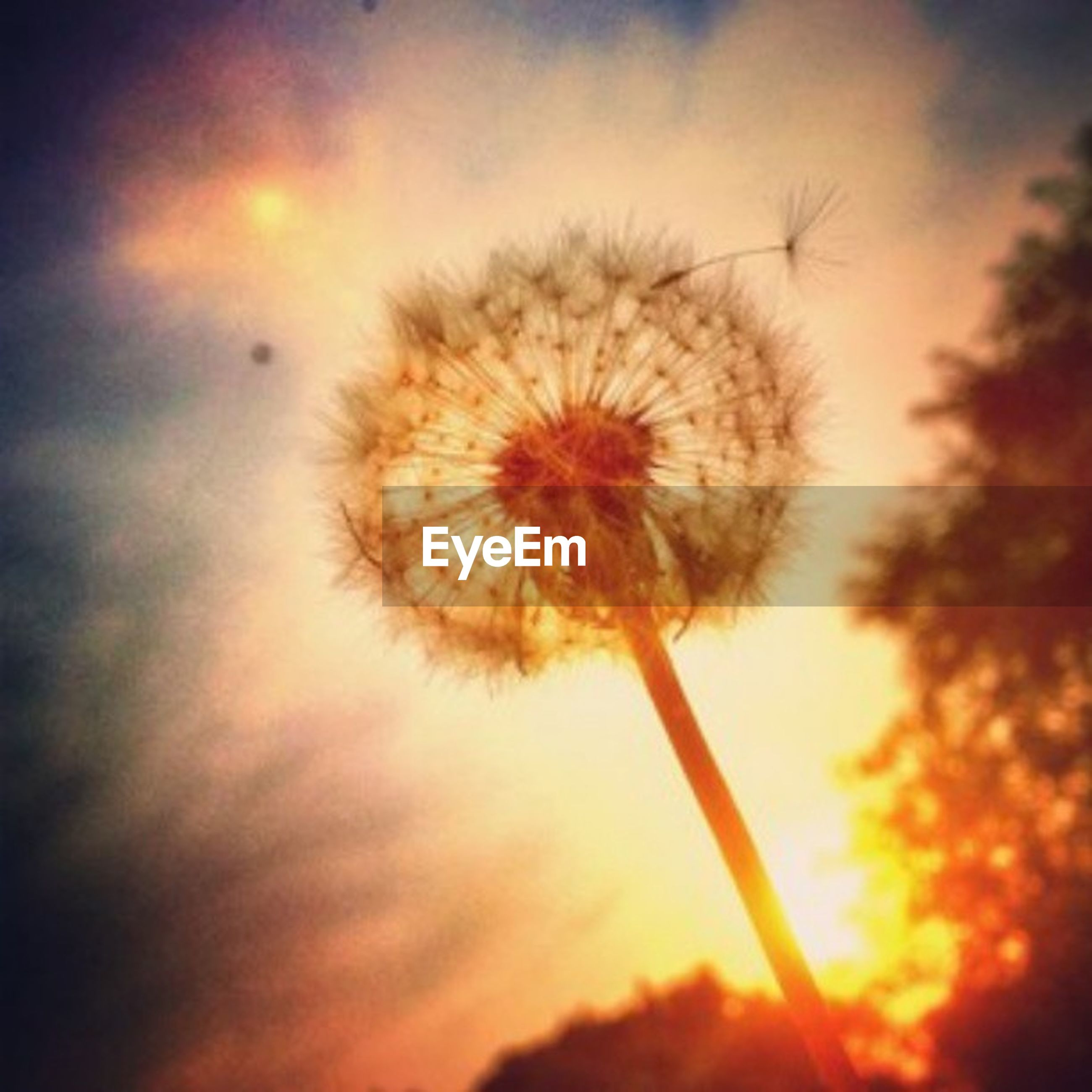 flower, dandelion, growth, fragility, beauty in nature, sunset, nature, freshness, flower head, stem, sky, plant, close-up, focus on foreground, silhouette, single flower, softness, outdoors, low angle view, no people