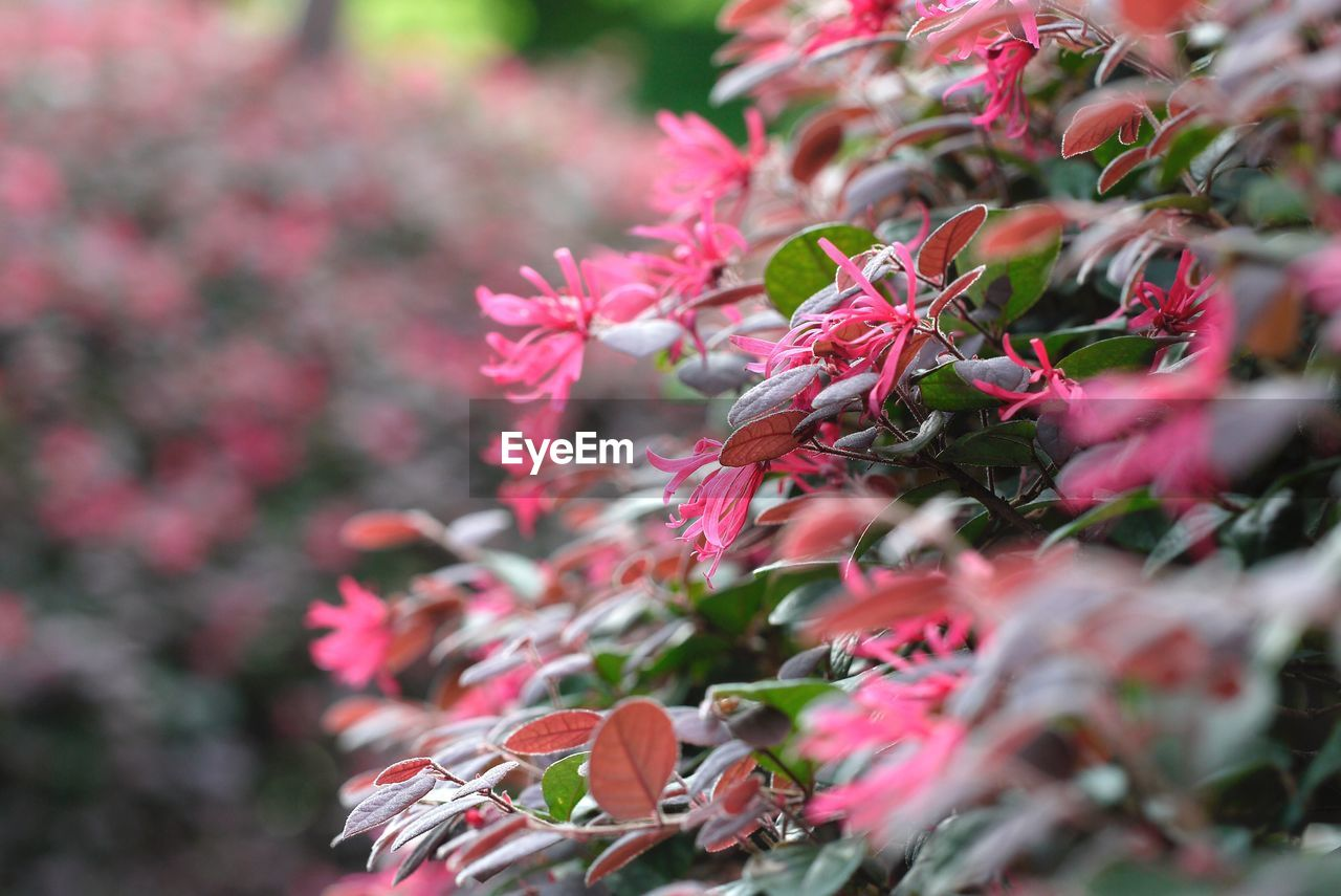 plant, selective focus, flowering plant, growth, flower, beauty in nature, close-up, freshness, pink color, day, no people, fragility, nature, vulnerability, red, petal, outdoors, plant part, leaf, botany, flower head