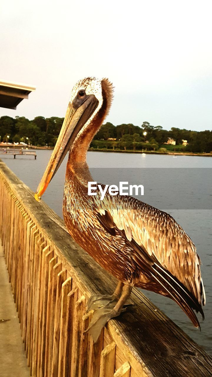 animals in the wild, one animal, animal themes, bird, animal wildlife, pelican, water, no people, outdoors, lake, day, nature, perching, close-up, sky