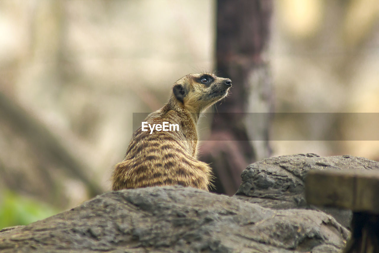 animal themes, one animal, animal wildlife, animal, animals in the wild, rock - object, rock, solid, meerkat, mammal, vertebrate, no people, focus on foreground, nature, looking away, selective focus, day, looking, close-up, outdoors