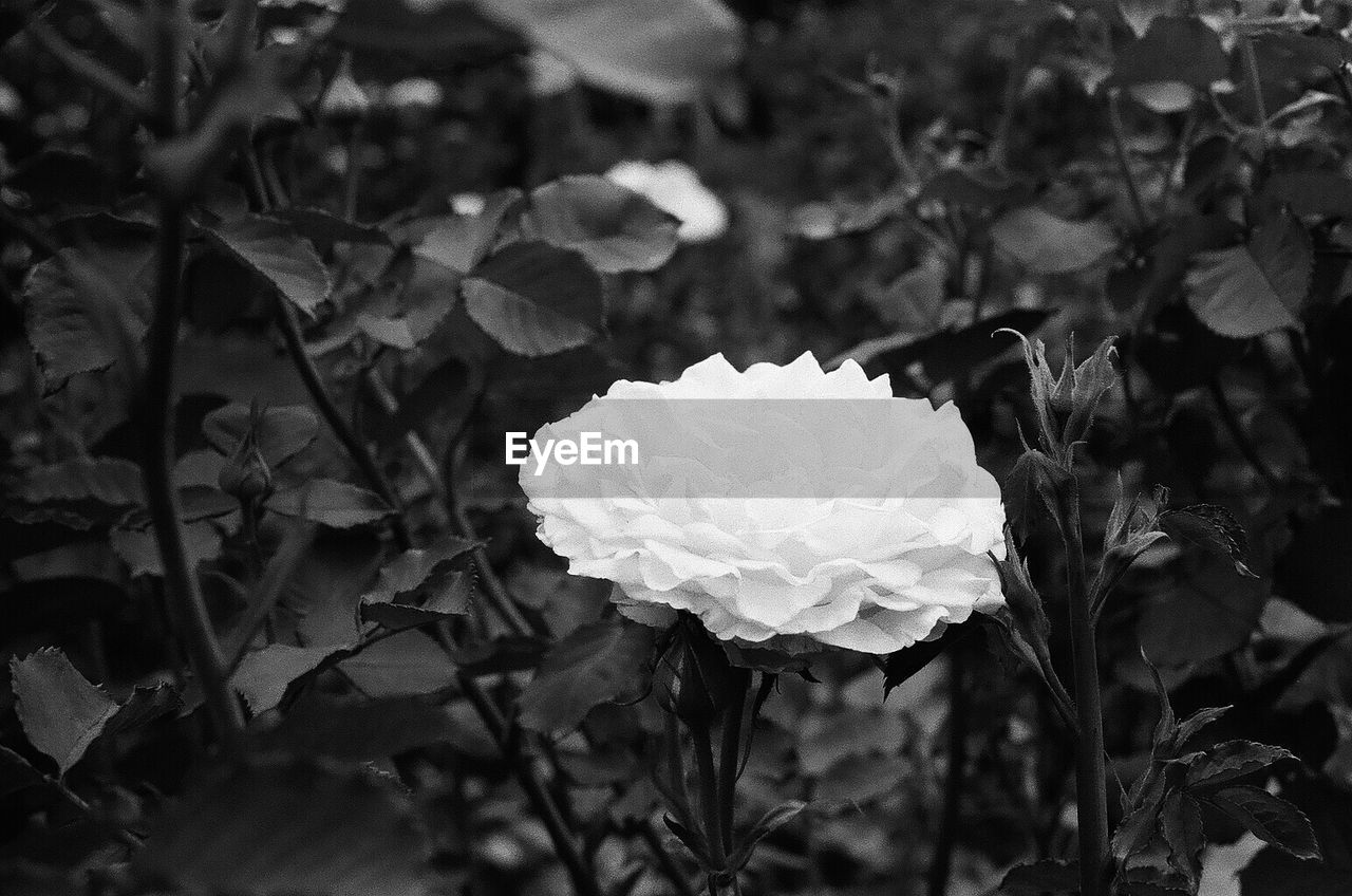 growth, petal, nature, plant, flower, blooming, flower head, beauty in nature, fragility, leaf, focus on foreground, freshness, no people, outdoors, close-up, day, rose - flower