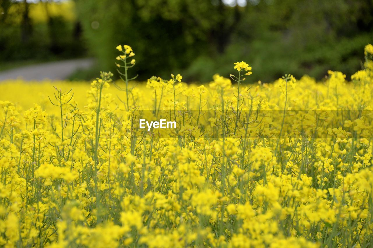 yellow, plant, flower, flowering plant, growth, beauty in nature, oilseed rape, freshness, land, field, agriculture, landscape, rural scene, nature, fragility, day, vulnerability, crop, farm, no people, outdoors, springtime, flowerbed