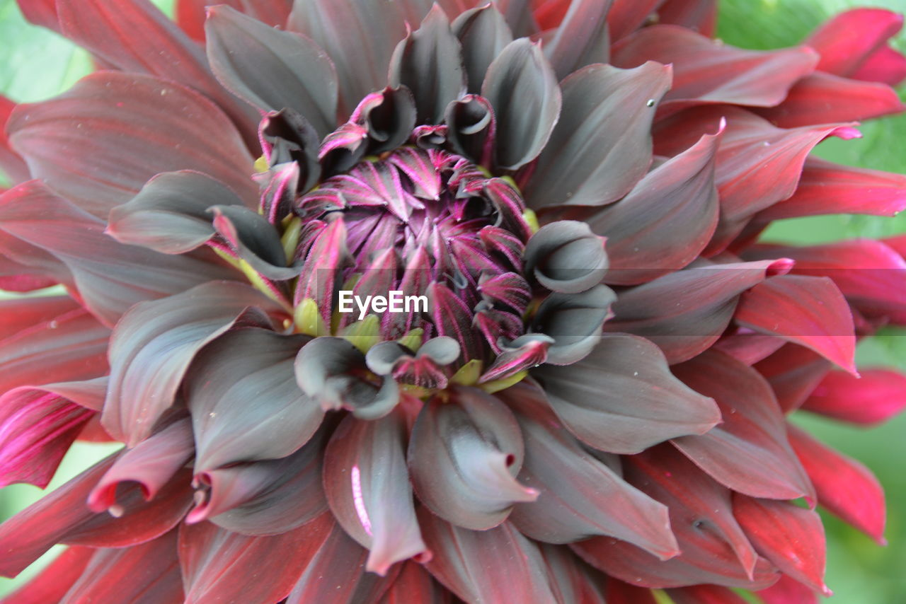 flower, flowering plant, fragility, vulnerability, plant, petal, close-up, beauty in nature, freshness, pink color, growth, flower head, inflorescence, dahlia, nature, full frame, no people, day, botany, red, outdoors, pollen