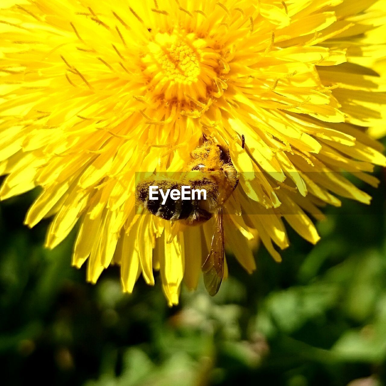 Close-up of bee pollinating on fresh yellow dandelion in garden