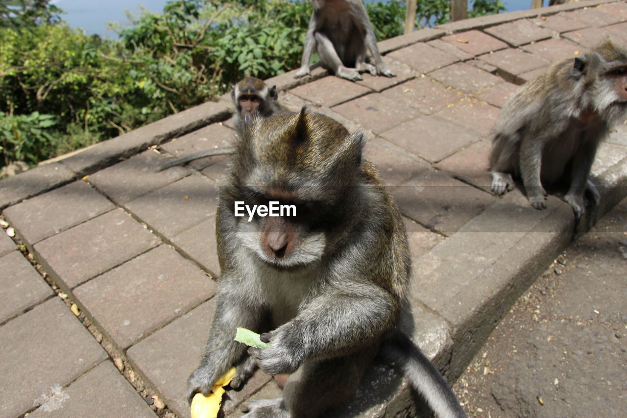 primate, mammal, animal wildlife, animals in the wild, vertebrate, group of animals, day, sitting, no people, nature, two animals, outdoors, animal family, young animal, high angle view, paving stone, baboon
