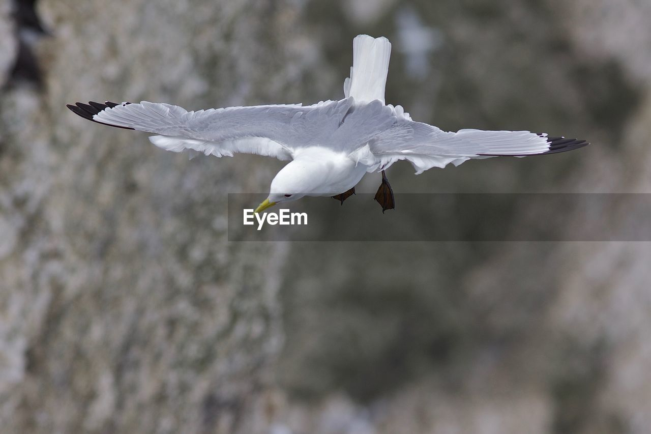 SEAGULL FLYING IN A A BIRD