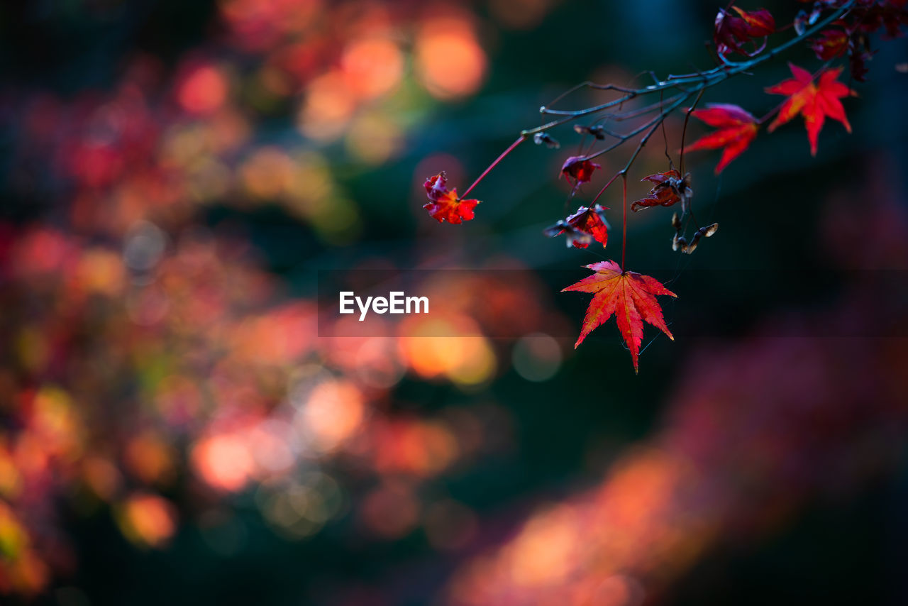 autumn, leaf, plant part, change, red, close-up, beauty in nature, plant, orange color, focus on foreground, maple leaf, no people, nature, growth, day, leaves, selective focus, tree, branch, outdoors, maple tree, natural condition, autumn collection