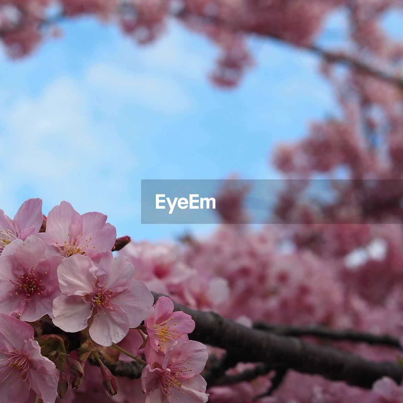 flower, beauty in nature, fragility, blossom, growth, nature, tree, pink color, springtime, freshness, cherry tree, branch, petal, botany, no people, apple blossom, orchard, low angle view, day, outdoors, plum blossom, blooming, close-up, sky, flower head