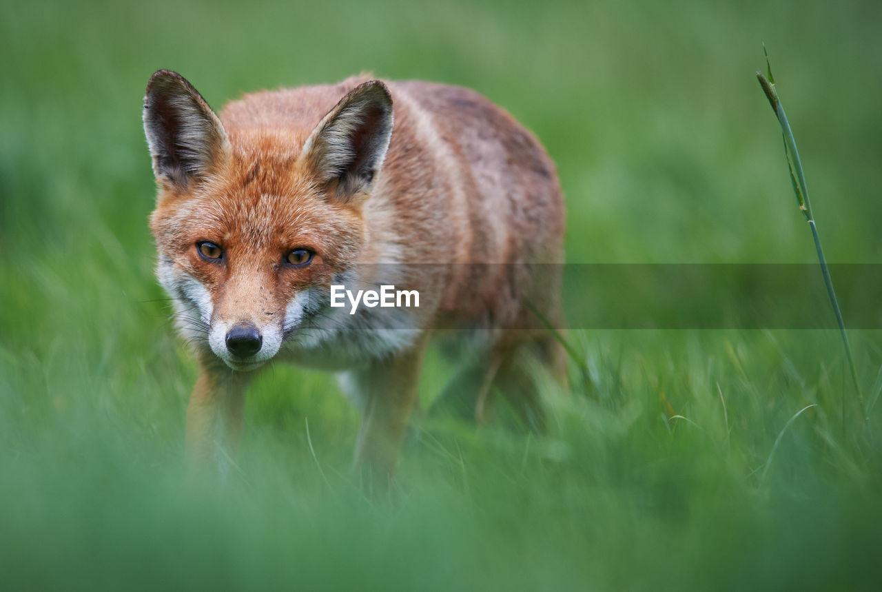 Portrait Of Red Fox Standing On Grassy Field