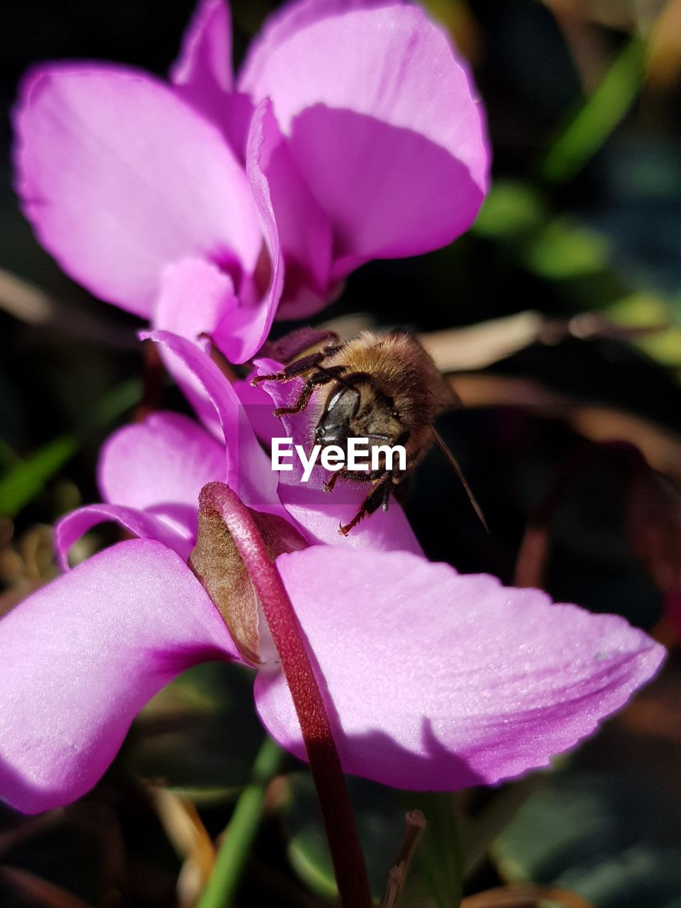flower, flowering plant, petal, beauty in nature, animal, animal themes, insect, plant, invertebrate, animal wildlife, one animal, animals in the wild, freshness, close-up, bee, fragility, growth, vulnerability, flower head, pink color, no people, pollen, pollination, purple, outdoors, bumblebee