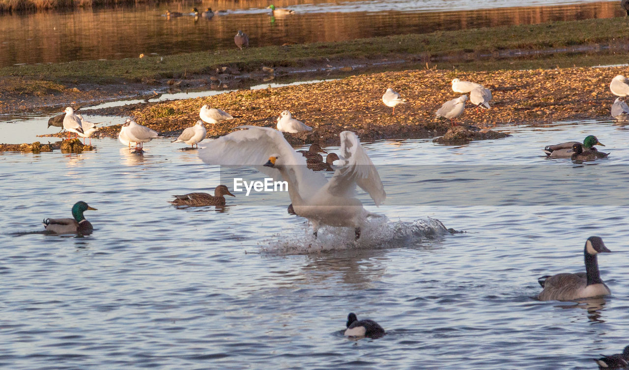 group of animals, bird, animals in the wild, animal themes, lake, animal wildlife, water, animal, vertebrate, large group of animals, swimming, waterfront, nature, goose, no people, day, swan, young animal, flock of birds, duck, outdoors, animal family, cygnet, gosling