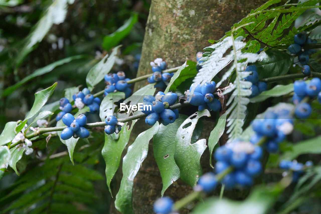 growth, plant, fruit, leaf, plant part, healthy eating, selective focus, close-up, berry fruit, nature, blueberry, green color, food, day, food and drink, no people, freshness, wellbeing, blue, beauty in nature, ripe, purple, winemaking
