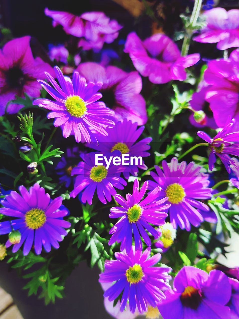 flowering plant, flower, freshness, fragility, vulnerability, petal, plant, beauty in nature, flower head, inflorescence, growth, close-up, nature, no people, purple, day, focus on foreground, pollen, pink color, high angle view