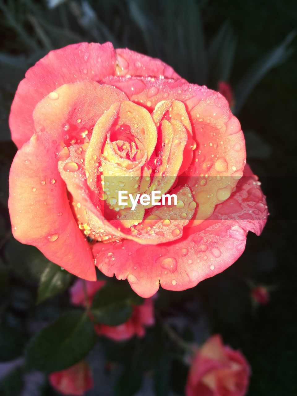 flowering plant, flower, beauty in nature, petal, plant, vulnerability, fragility, freshness, inflorescence, flower head, growth, close-up, drop, water, wet, nature, focus on foreground, rose, pink color, no people, outdoors, rain, rose - flower, dew, purity, raindrop