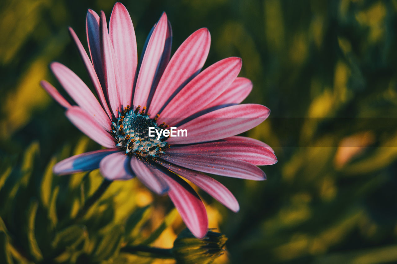 flowering plant, flower, vulnerability, fragility, petal, plant, growth, beauty in nature, flower head, freshness, inflorescence, close-up, focus on foreground, pollen, osteospermum, nature, no people, pink color, day, gazania, purple