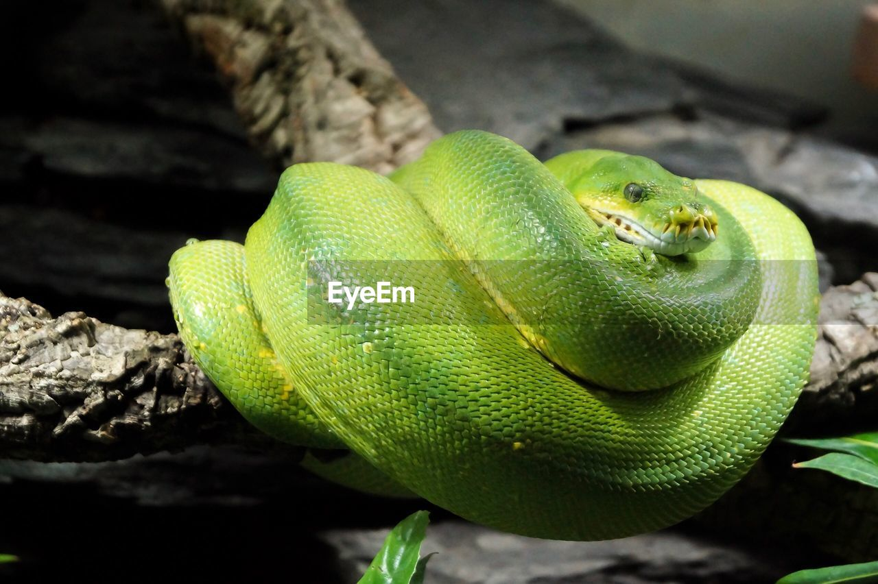one animal, animal themes, animals in the wild, animal, reptile, animal wildlife, close-up, vertebrate, snake, green color, no people, nature, day, animal body part, focus on foreground, animal head, zoology, animal scale, outdoors, warning sign, poisonous, animal eye